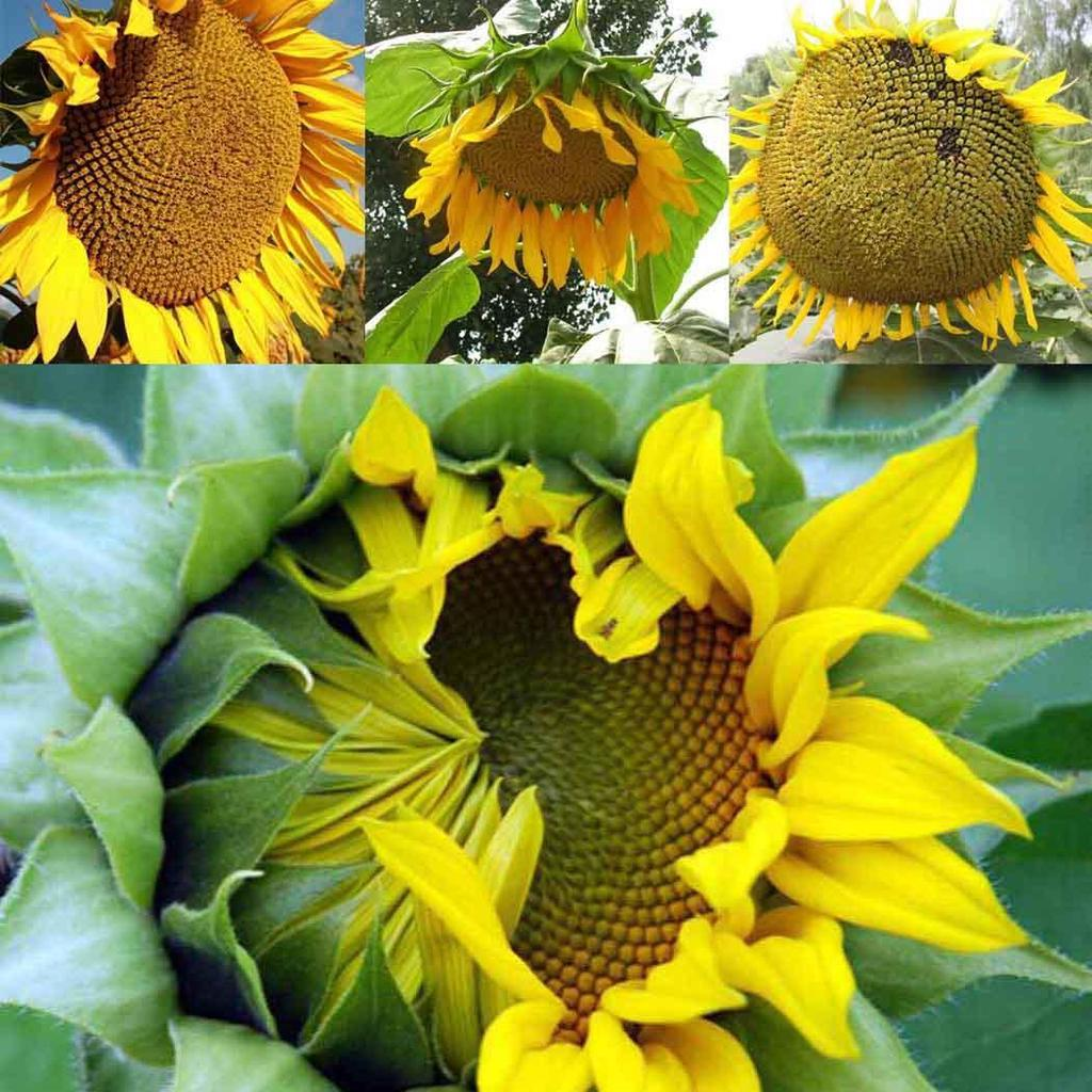Подсолнух : когда и как собирать семена подсолнечника 33