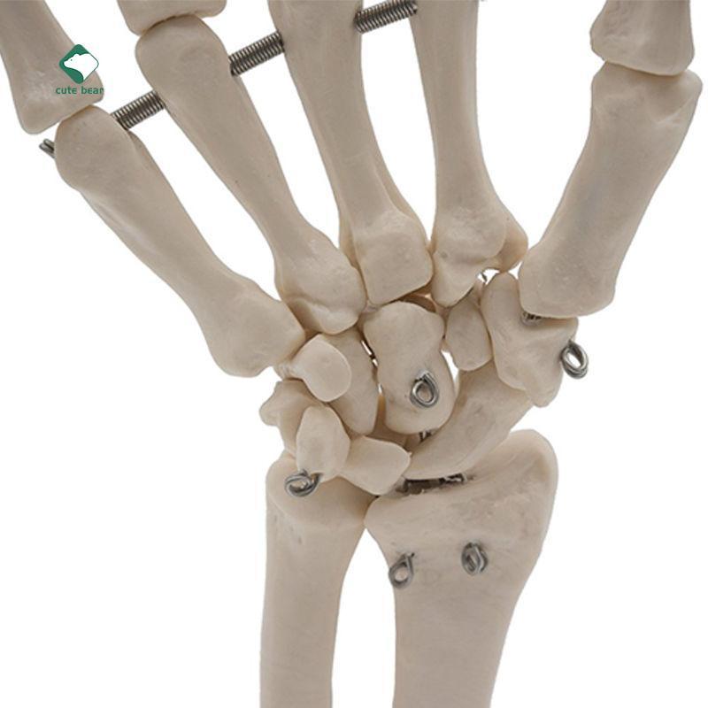 Menschliche Hand gemeinsame anatomische Skelettmodell Medizin ...
