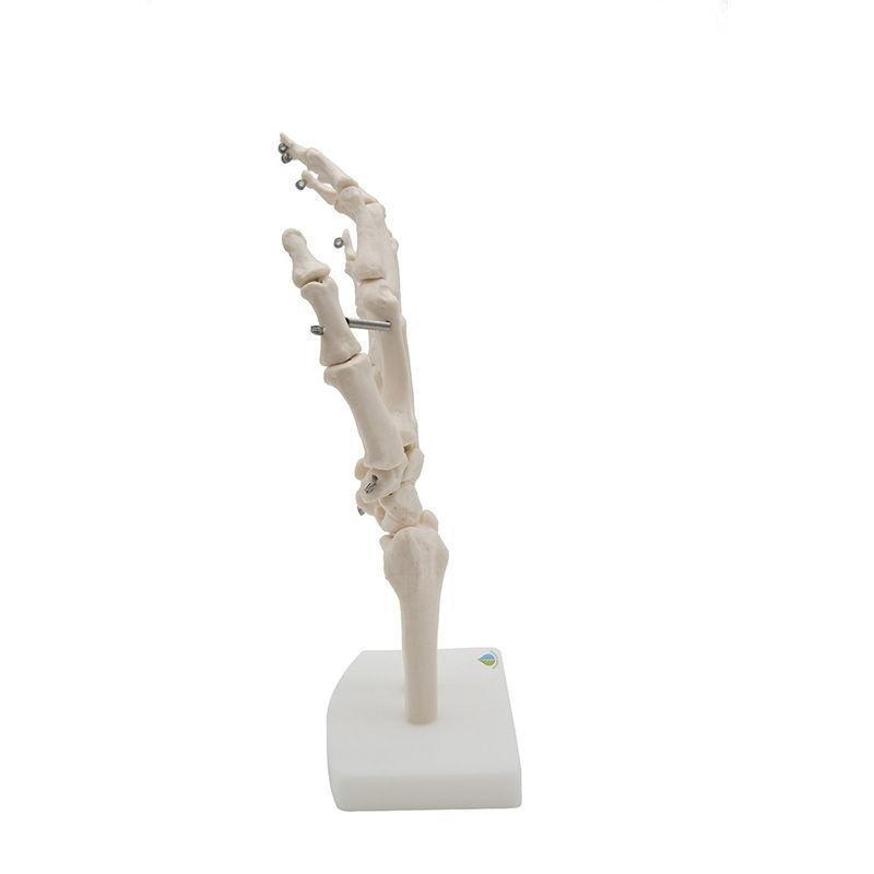 Mano humana modelo esqueleto anatómico común ciencia médica Salud ...