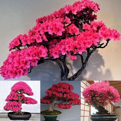 10pcs Rare Japanese Sakura Cherry Blossom Flower Seeds Bonsai Rare Tree Plants Buy At A Low Prices On Joom E Commerce Platform