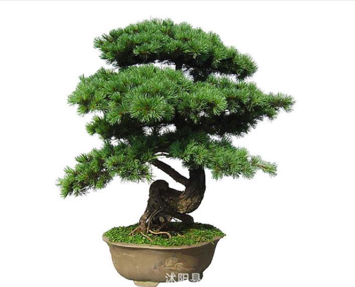 20pcs japonais White Pine Pinus parviflora Arbre Vert Plante Bonsai Graines Accueil