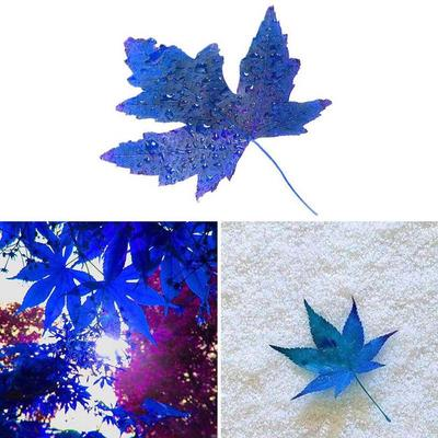 50pcs Rare Japanese Blue Maple Tree Seeds Bonsai Tree Seeds Sky Blue Maple Seed Exotic Plant Spe Buy At A Low Prices On Joom E Commerce Platform