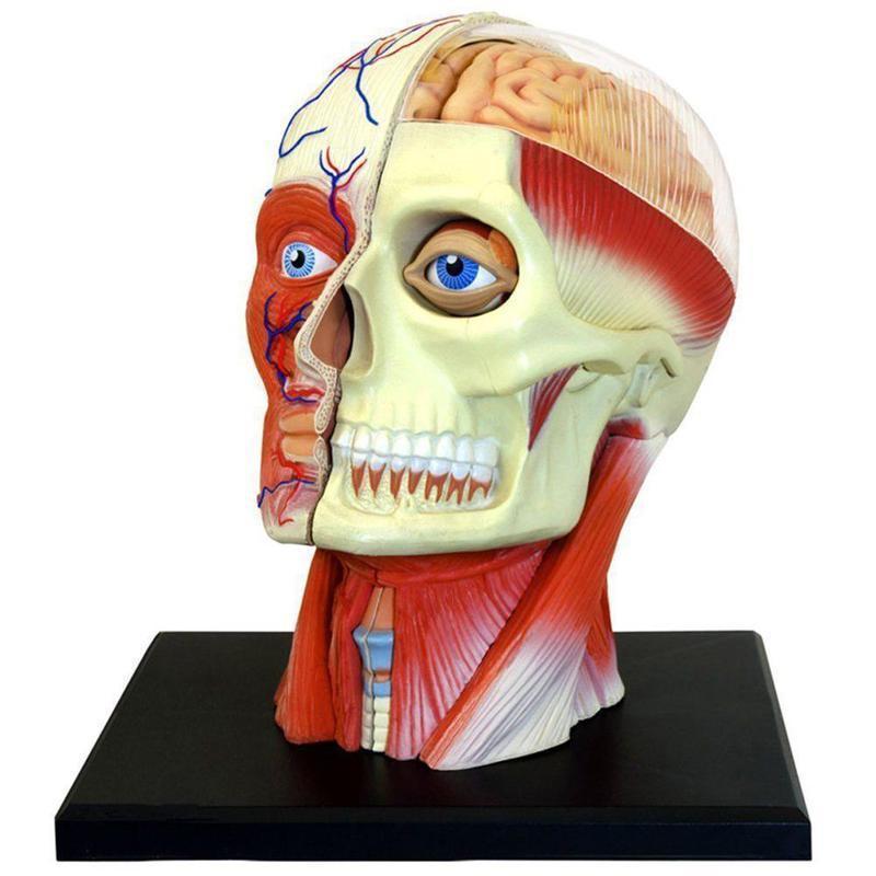 Cabeza humana cráneo cerebro anatomía anatómico modelo médico para ...