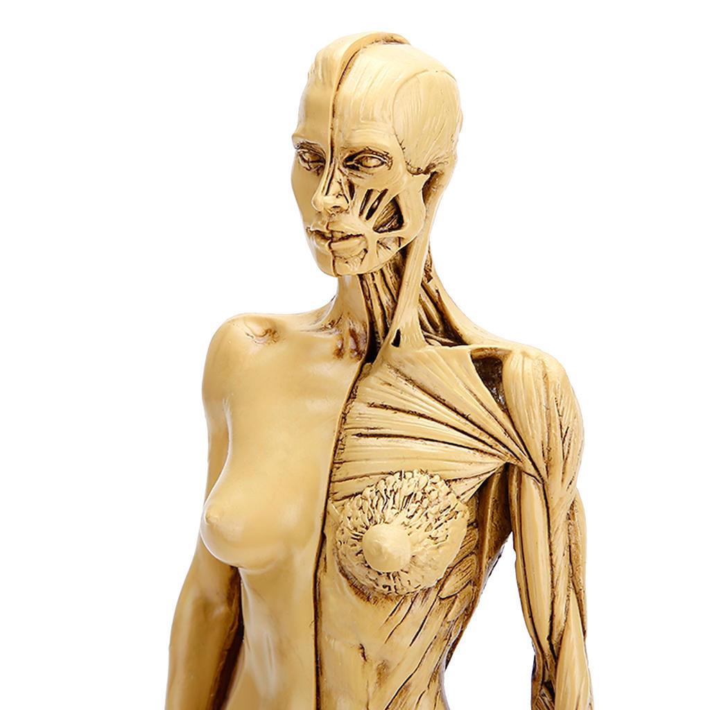 Wunderbar Ganzkörper Anatomie Modell Galerie - Anatomie Von ...