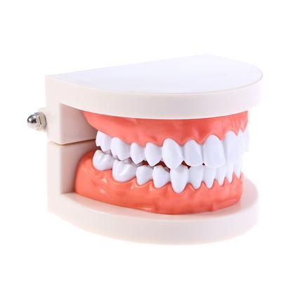 3X Magnification Dental Dentist Teeth Teaching Model 28 Teeth Dental Market Plastic Teeth Model for Dental Study Teaching