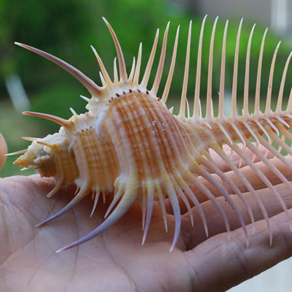 1pc Natural Murex Pecten Shell Conch Coral Sea Snail Home Fish Tank Ornamenha