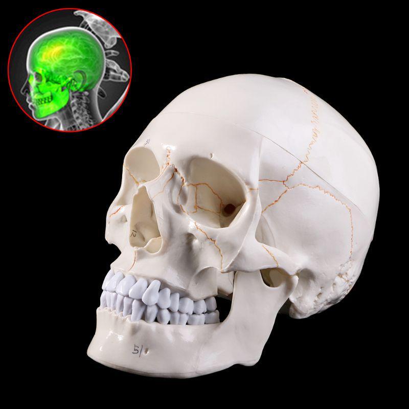 Life Size 1:1 Resin Human Skull Model Anatomical Medical Teaching Skeleton Head.