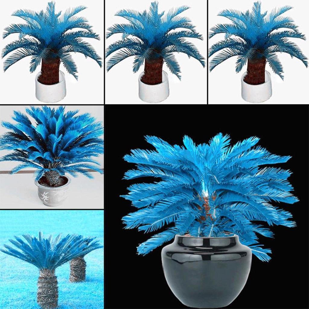 5 PCS Seeds Blue Cycas Bonsai Sago Palm Tree Plants Garden Easy To Grow 2019 New