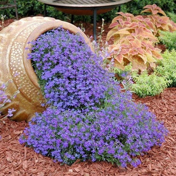 100pcs Creeping Thyme Seeds O Blue Rock, Creeping Jenny Ground Cover Seeds