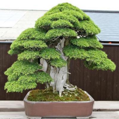 Perennial Bonsai Mini Pine Tree Woody Plants Seeds Buy At A Low Prices On Joom E Commerce Platform