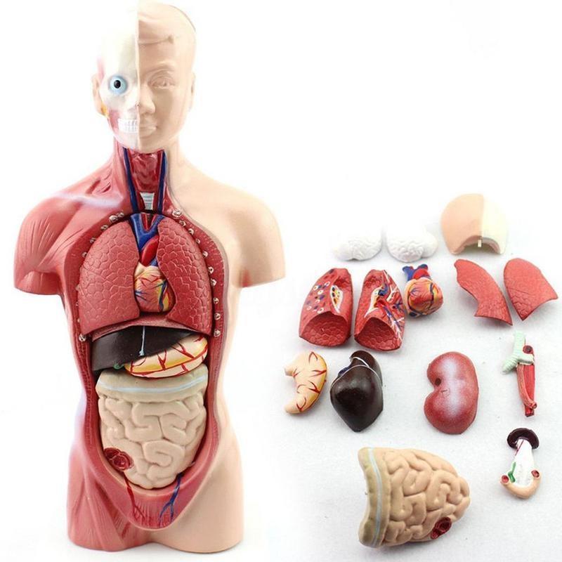 28cm menschlichen Torso Anatomie Modell Eingeweide Herz Gehirn ...