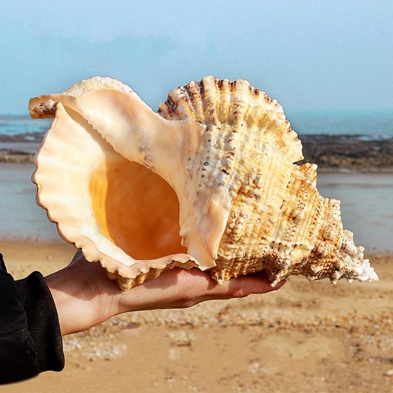 Natural Murex Pecten Shell Conch Coral Sea Snail Home Ornament Fish Tank Adorn