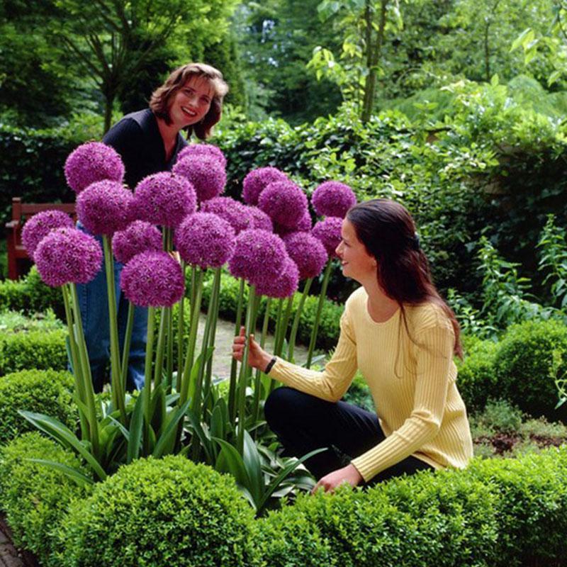Гигантские фиолетовый лук-шалот красивый сад растений цветок семена превосходно 50 шт / мешок – купить по низким ценам в интернет-магазине Joom
