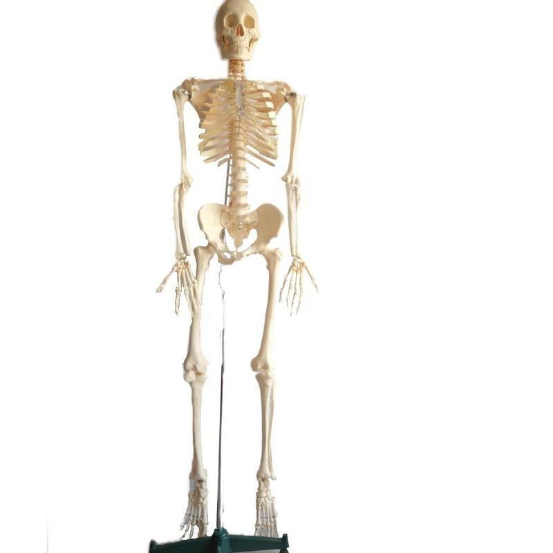 Wellden Medical anatomische menschlichen Skelett Modell, 170cm ...