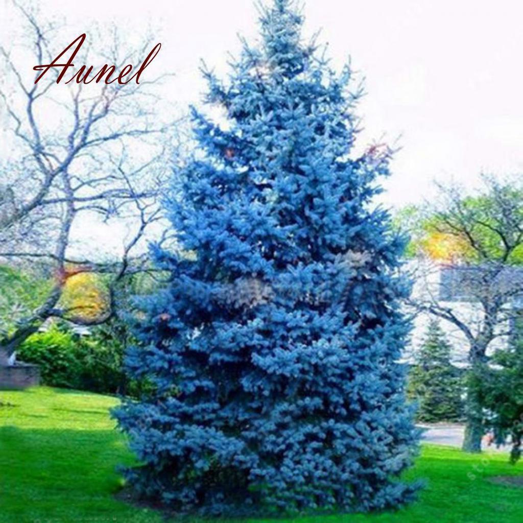 Tree Colorado 100 Pcs Seeds Bonsai Blue Spruce Picea Pungens Glauca Good Growing