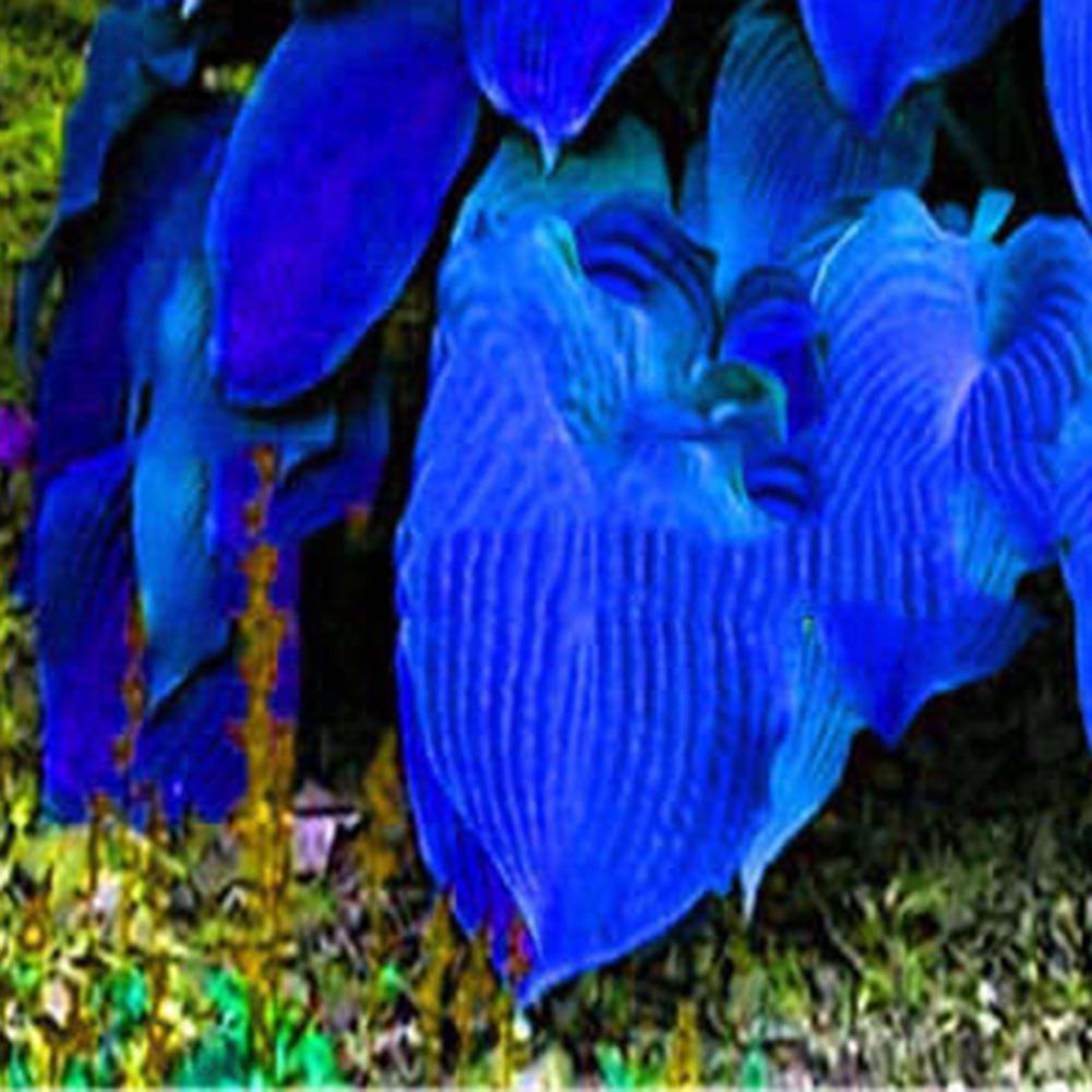 200Pcs Mixed Color Hosta Plantaginea Seeds Fragrant Plantain Bonsai Plant Sanwoo